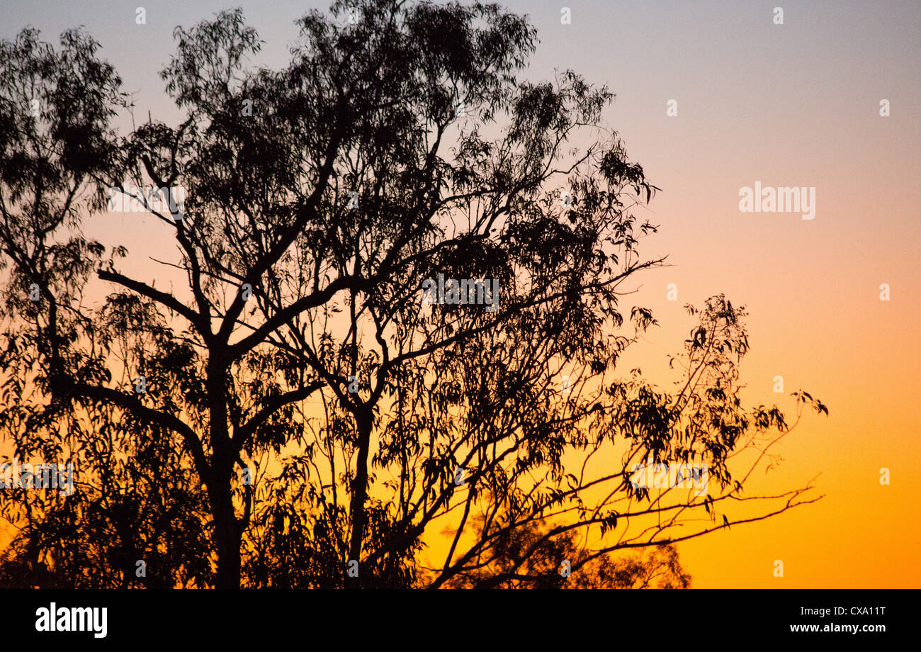 Silhouette of a eucalyptus tree at sunset, Kakadu National Park, Northern Territory - Stock Image