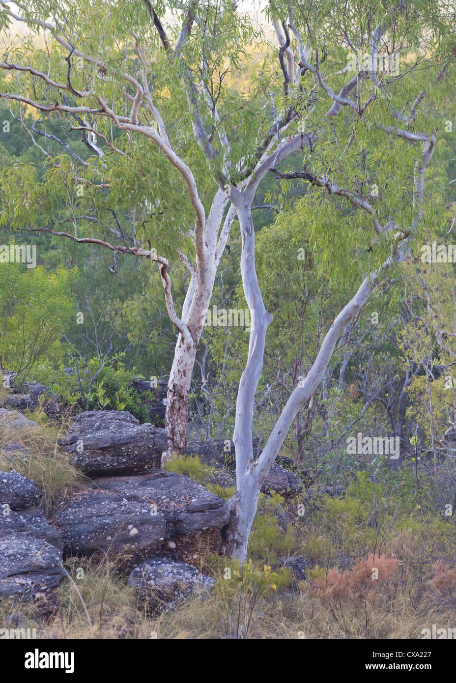 Eucalyptus Trees, Kakadu National Park, Northern Territory - Stock Image