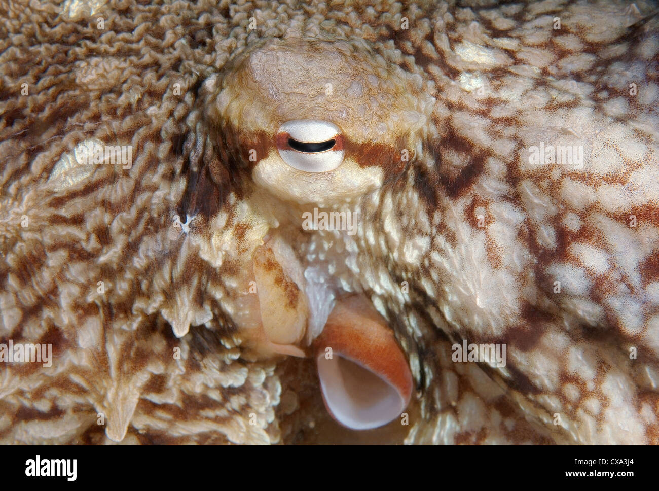 giant Pacific octopus or North Pacific giant octopus, (Enteroctopus dofleini) Japan sea, Far East, Primorsky Krai, - Stock Image