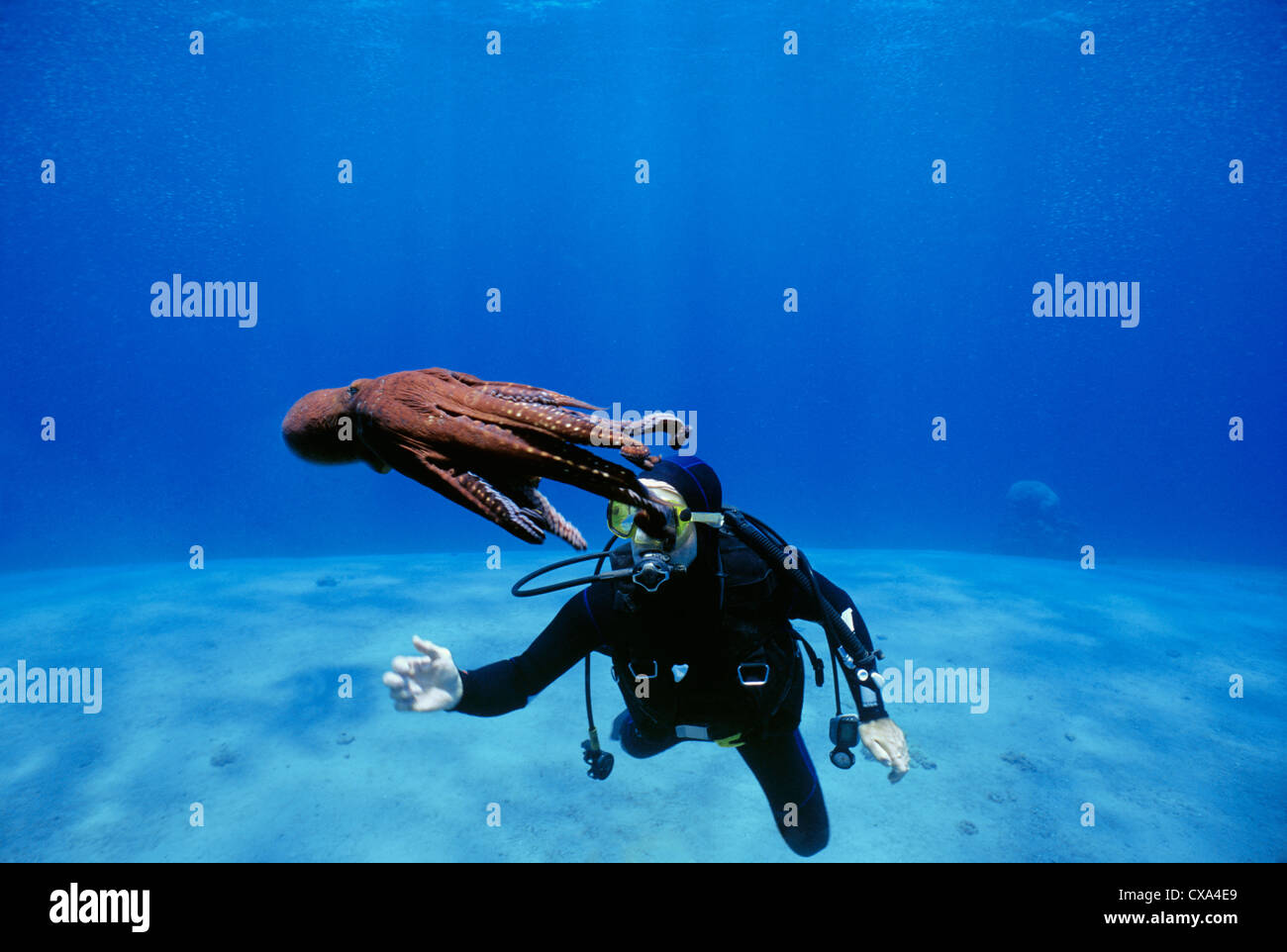 Diver interacts with Reef Octopus (Octopus cyanea). Eilat, Israel, Red Sea Stock Photo