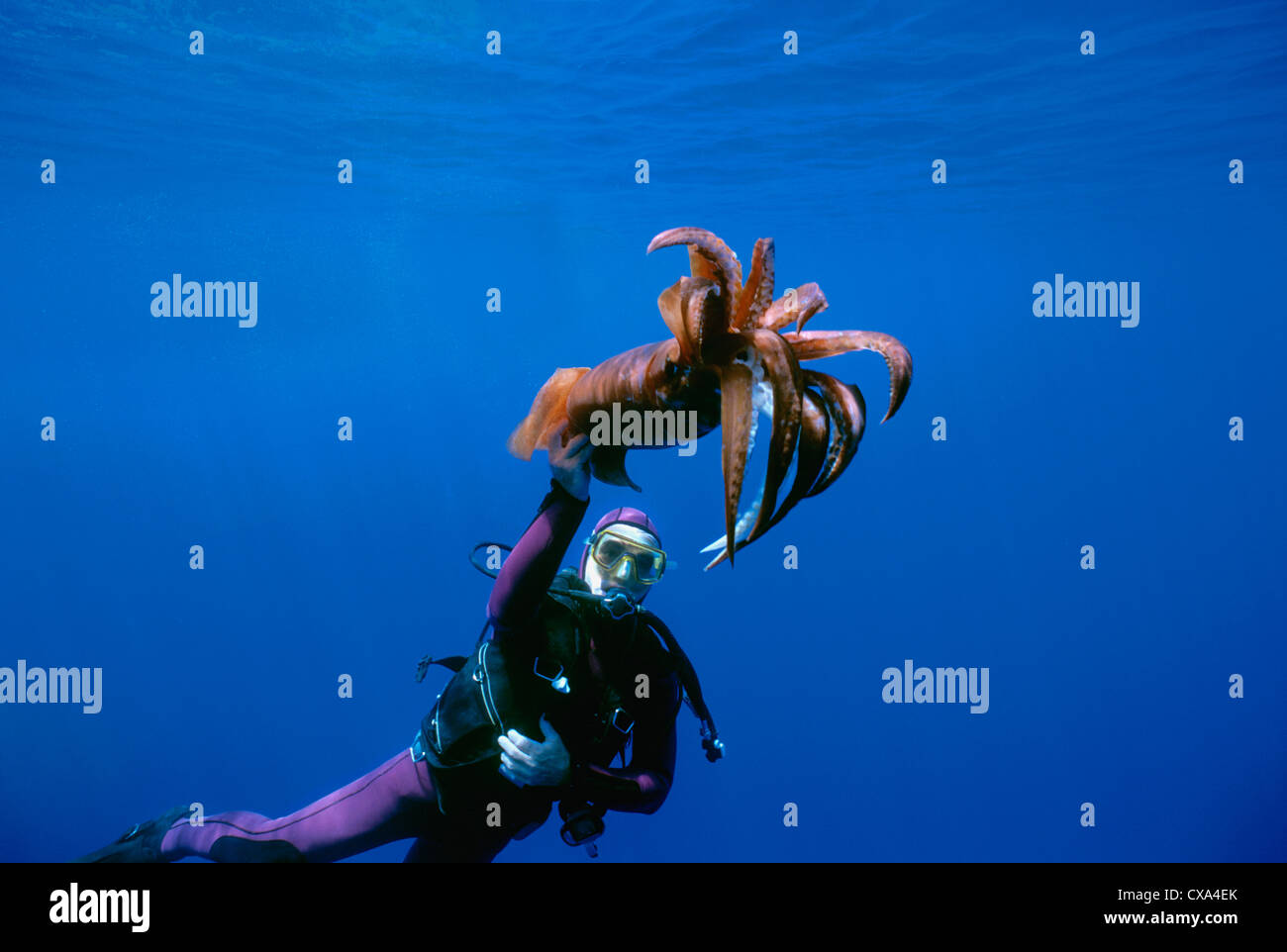 Diver observes Deep Sea Squid (Symplectoteuthis oualensis). Eilat, Israel, Red Sea - Stock Image