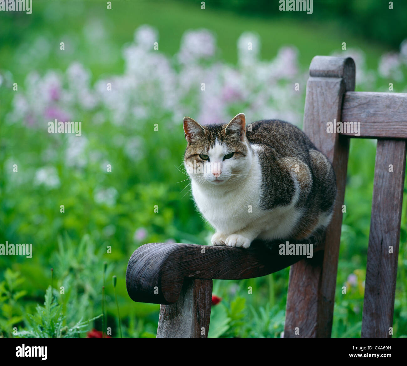 Astounding Tabby Cat On Garden Bench Pennsylvania Stock Photo Inzonedesignstudio Interior Chair Design Inzonedesignstudiocom