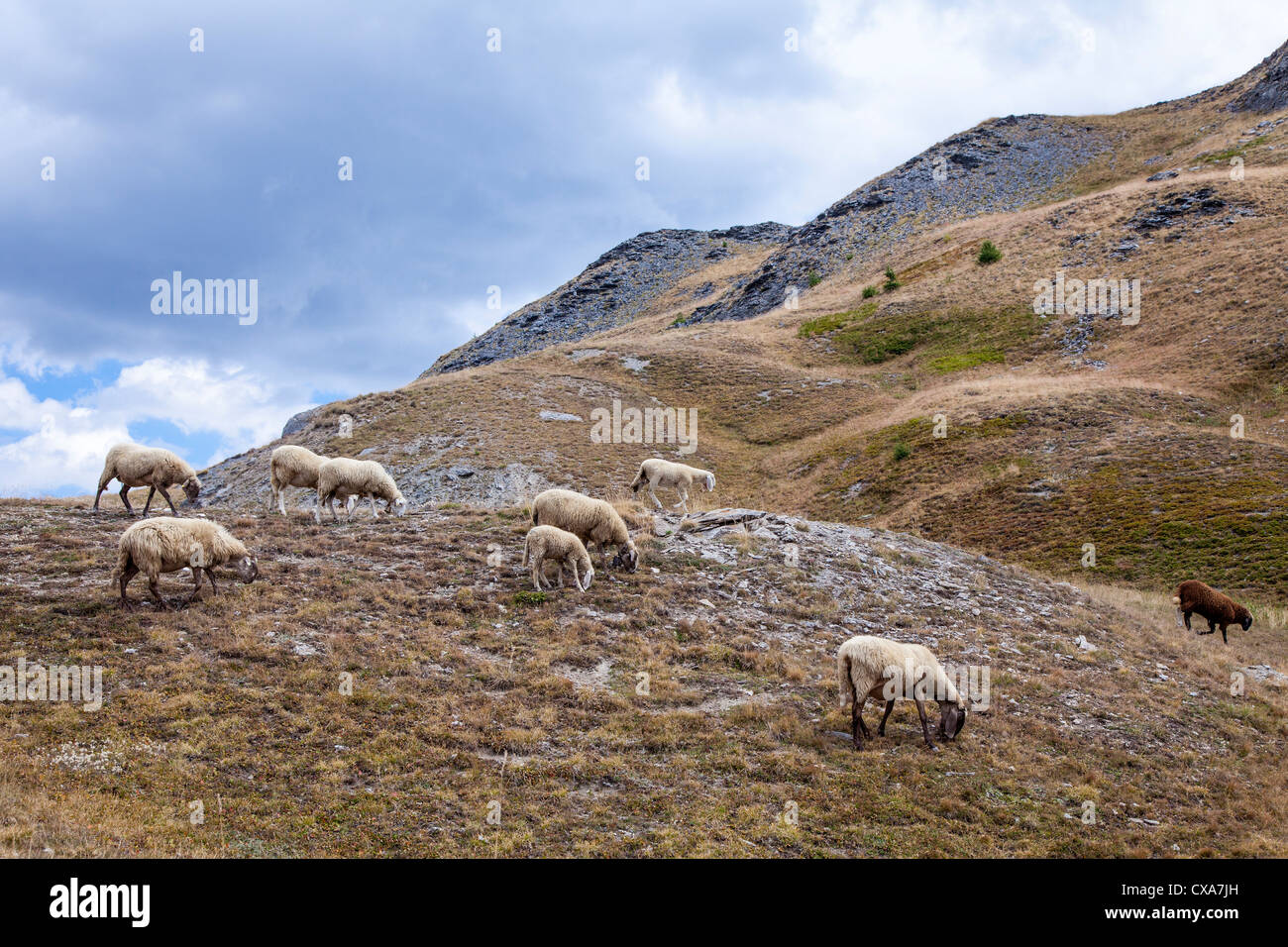 Sheep on the mountain summer pastures near Sestriere, Italy Stock Photo