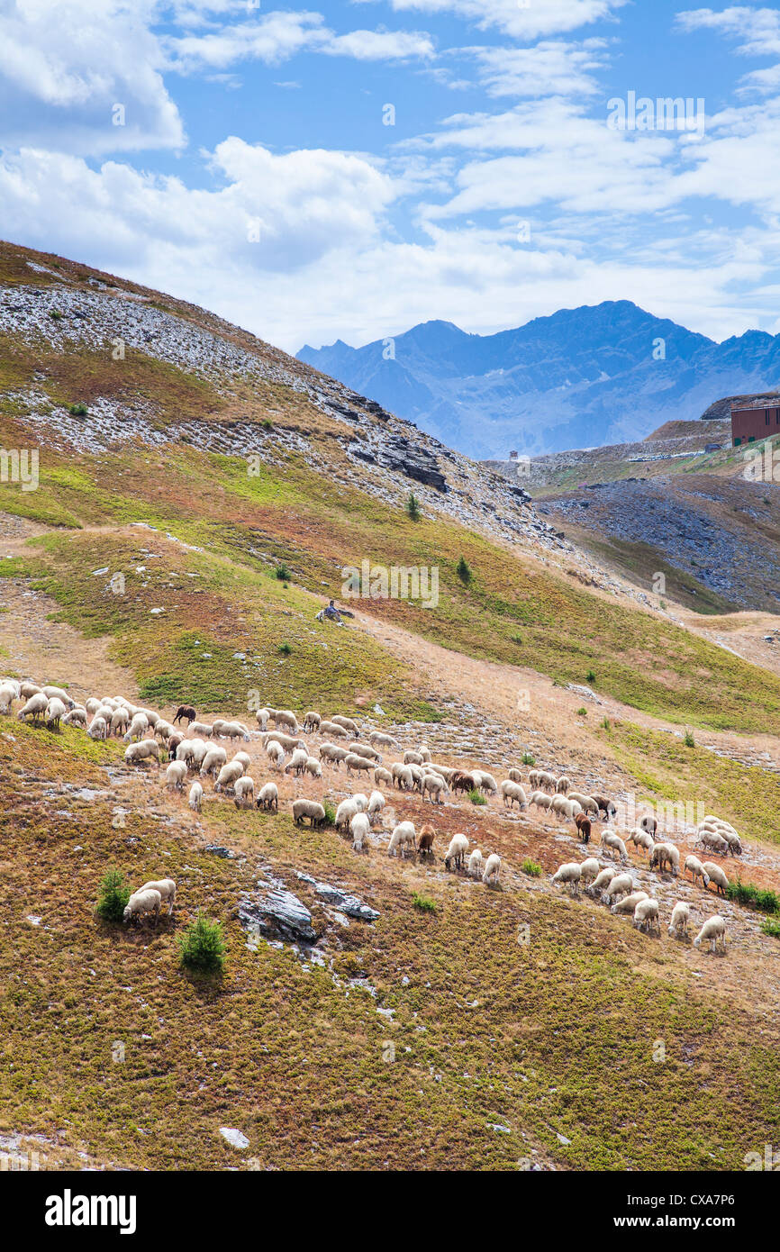 Sheep on the mountain summer pastures near Sestriere, Italy - Stock Image