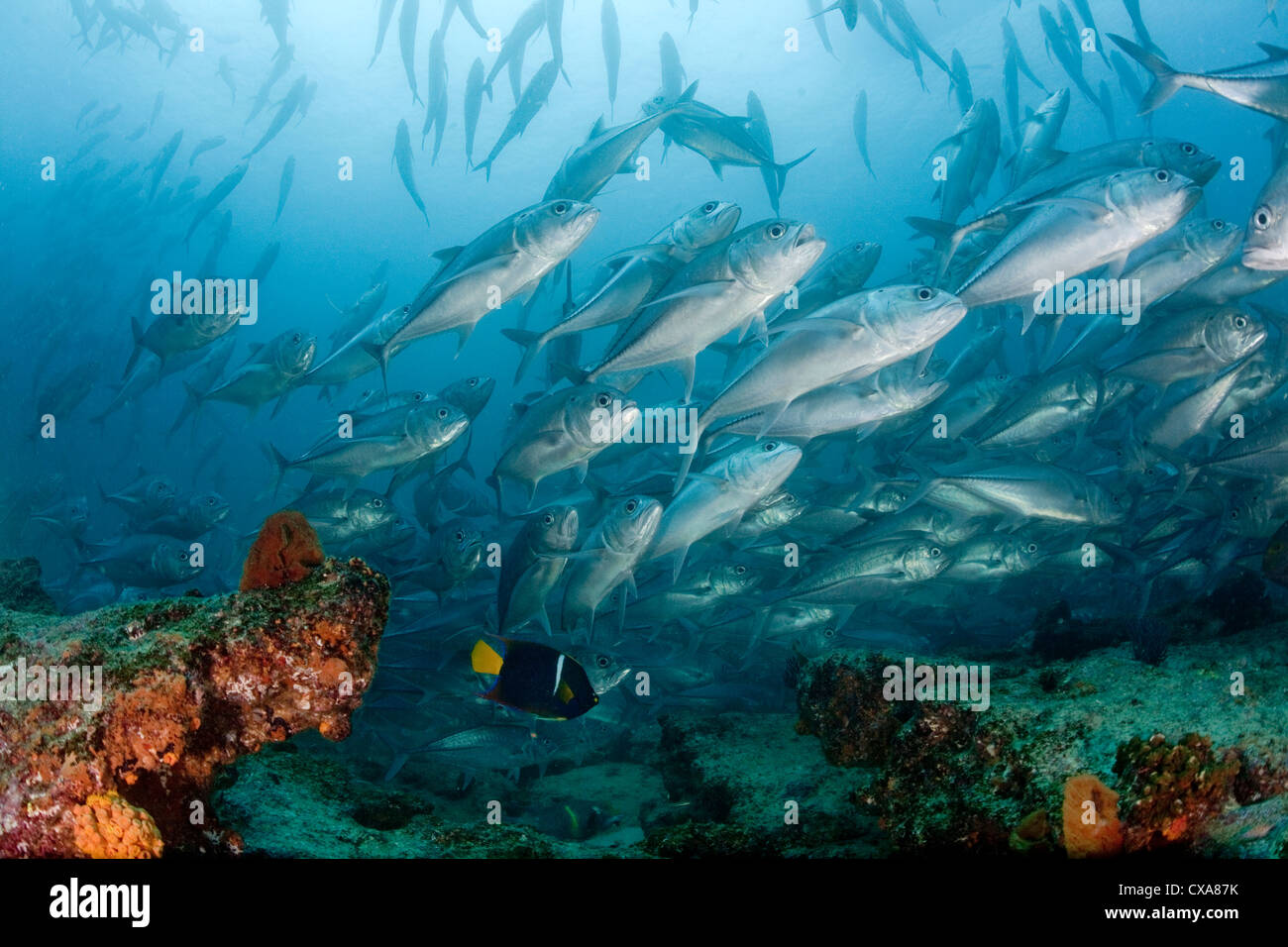 A school of jack fish at a healthy coral reef at Cabo Pulmo National Marine Park in Mexico. - Stock Image