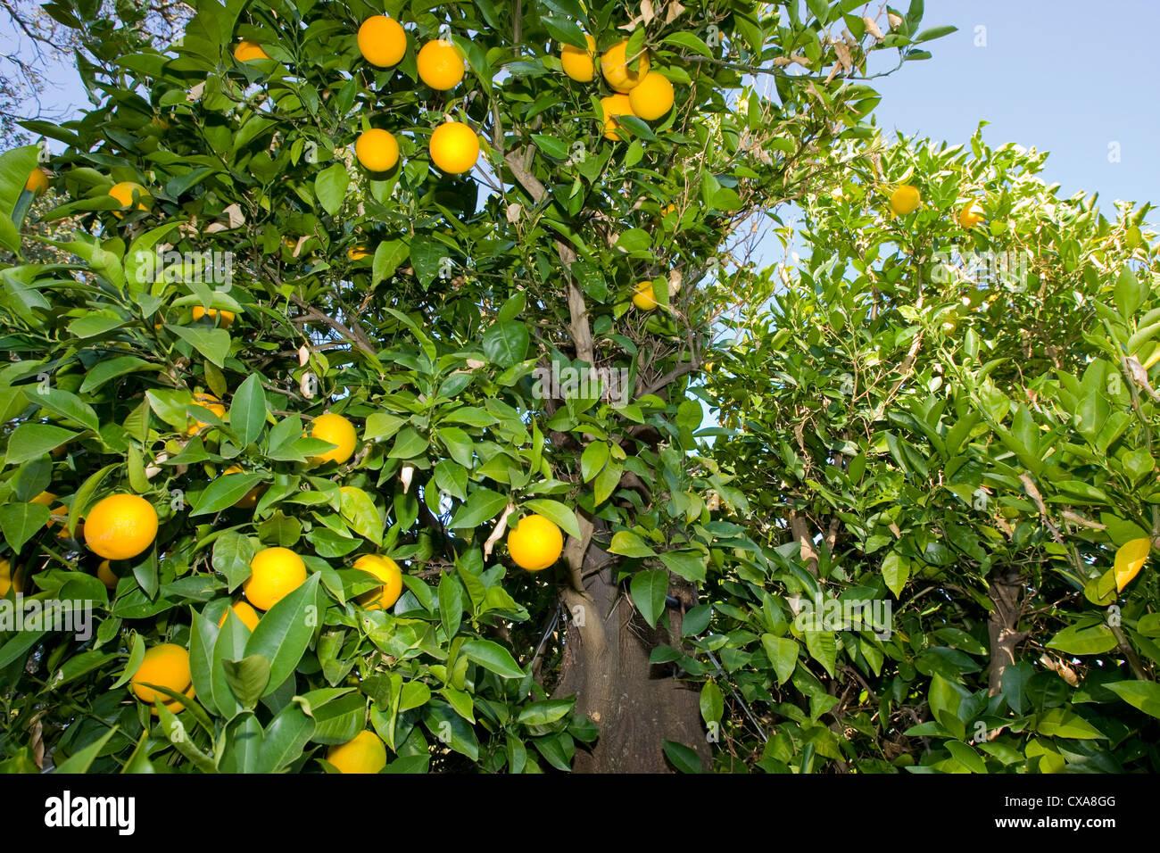 An orange fruit tree in California. Stock Photo