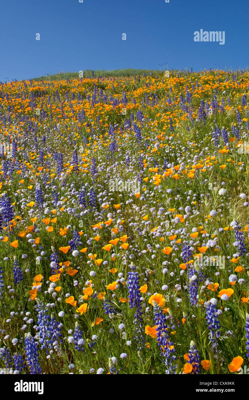 Lupine and California poppy flowers in bloom. - Stock Image