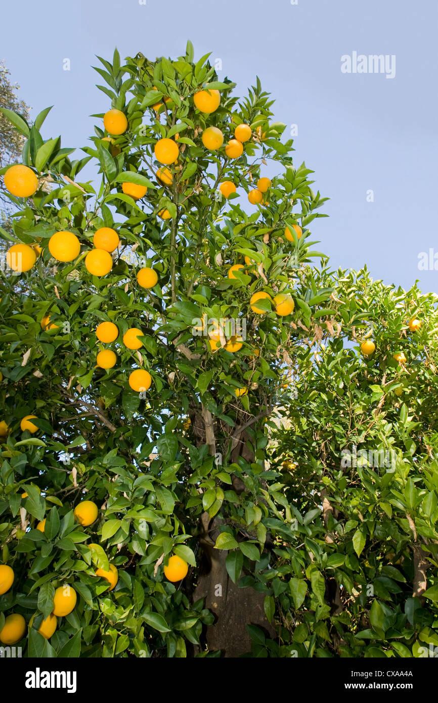 Orange tree - Stock Image