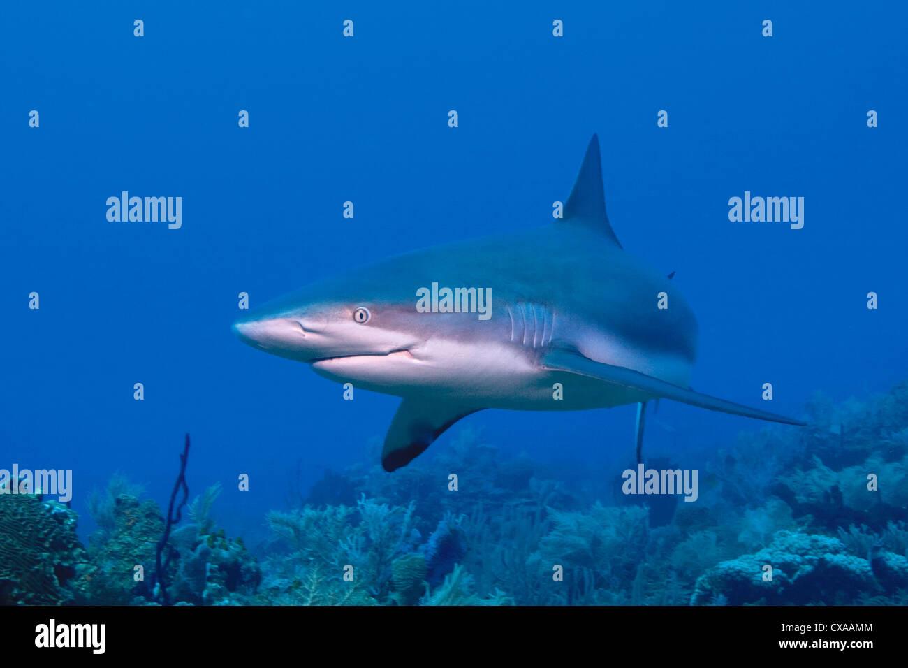A Caribbean Reef Shark (Carcharhinus perezi) at the Swan Islands off the coast of Honduras. Stock Photo