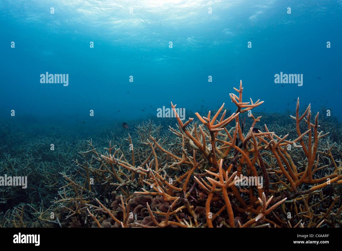 A coral reef at Cordelia Banks at the Swan Island off the coast of Honduras. - Stock Image