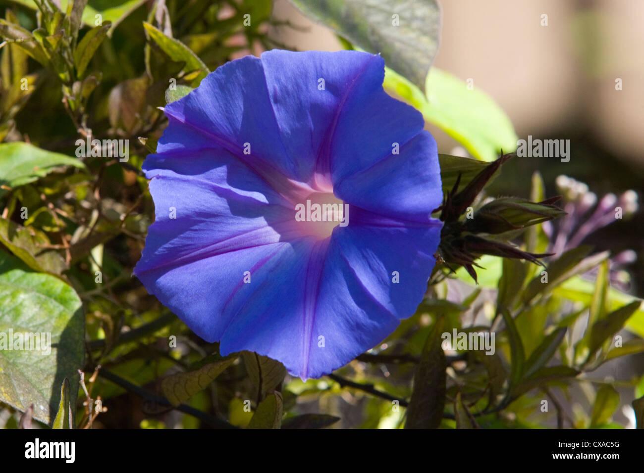 Morning Glory Flower - Stock Image