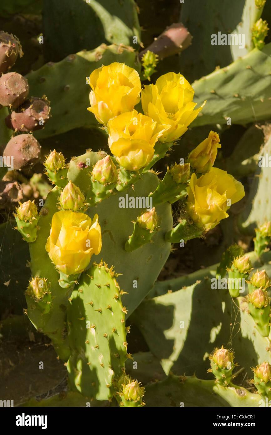 Plant Cactus Flower Flowering Desert Dry Yellow Stock Photos Plant
