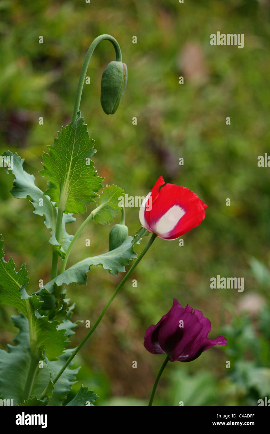 Opium Flower Stock Photos Opium Flower Stock Images Alamy