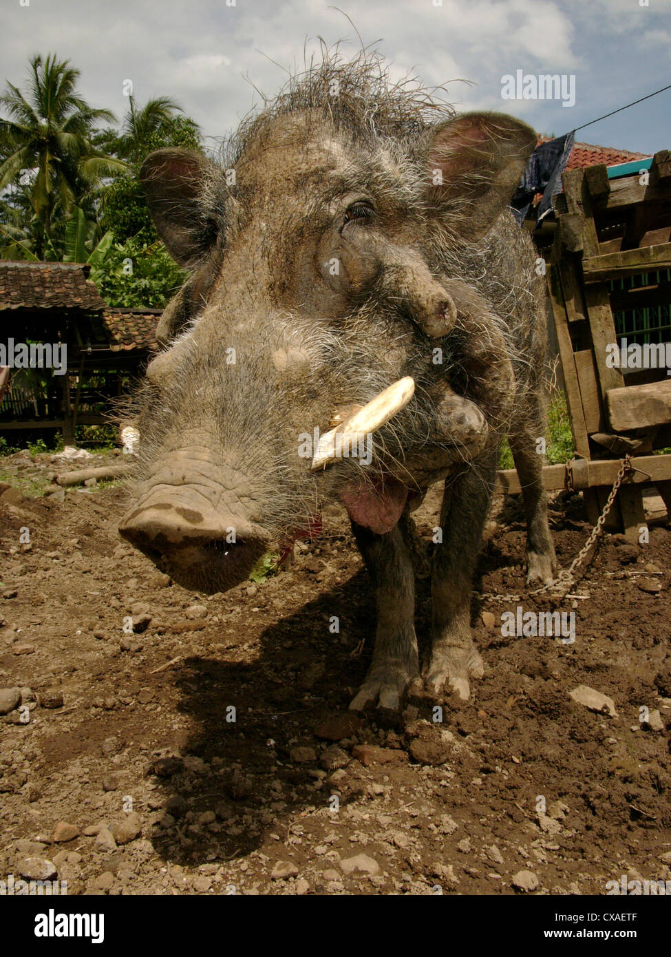 A wild jungle boar waits to enter a legal pig-baiting arena in West Java, Indonesia where it will be attacked by - Stock Image