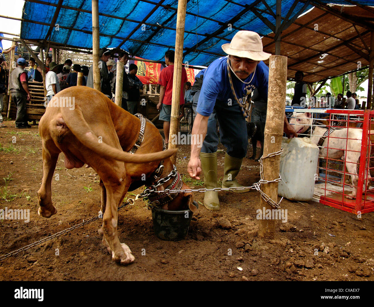 A member of a dog-fighting club feeds his attack-dog during a legal pig-baiting contest in West Java, Indonesia. - Stock Image
