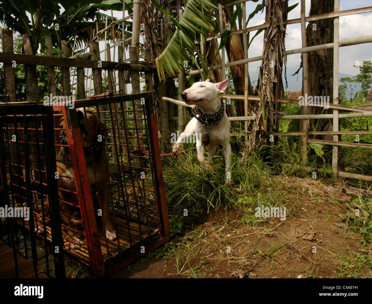 Two attack dogs are corralled before fighting with a wild boar in a legal pig-baiting contest in West Java, Indonesia. - Stock Image