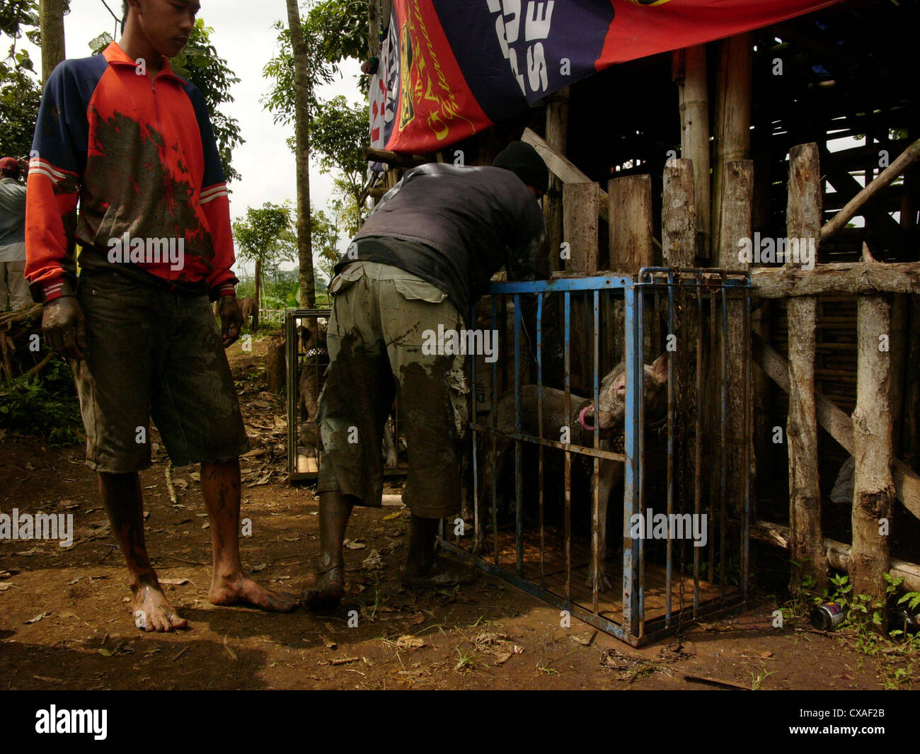 Members of a dog-fighting club corral their attack-dog during a legal pig-baiting contest in West Java, Indonesia. - Stock Image