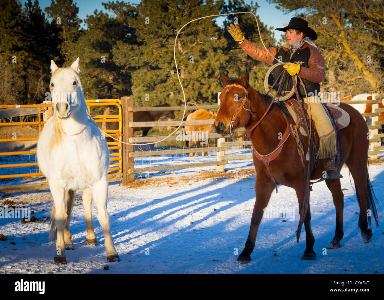 Cowboy in corral chasing a horse with his lasso on a ranch in northeastern Wyoming - Stock Image