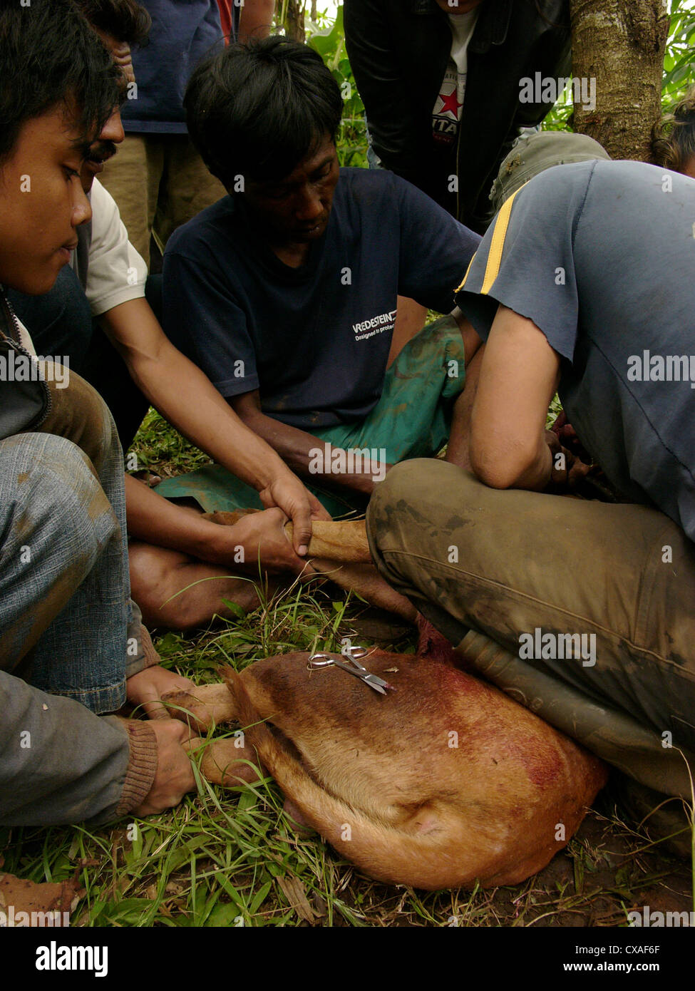 Jungle vets stitch an injured attack-dog after it has fought with a wild boar during a legal pig-baiting contest - Stock Image