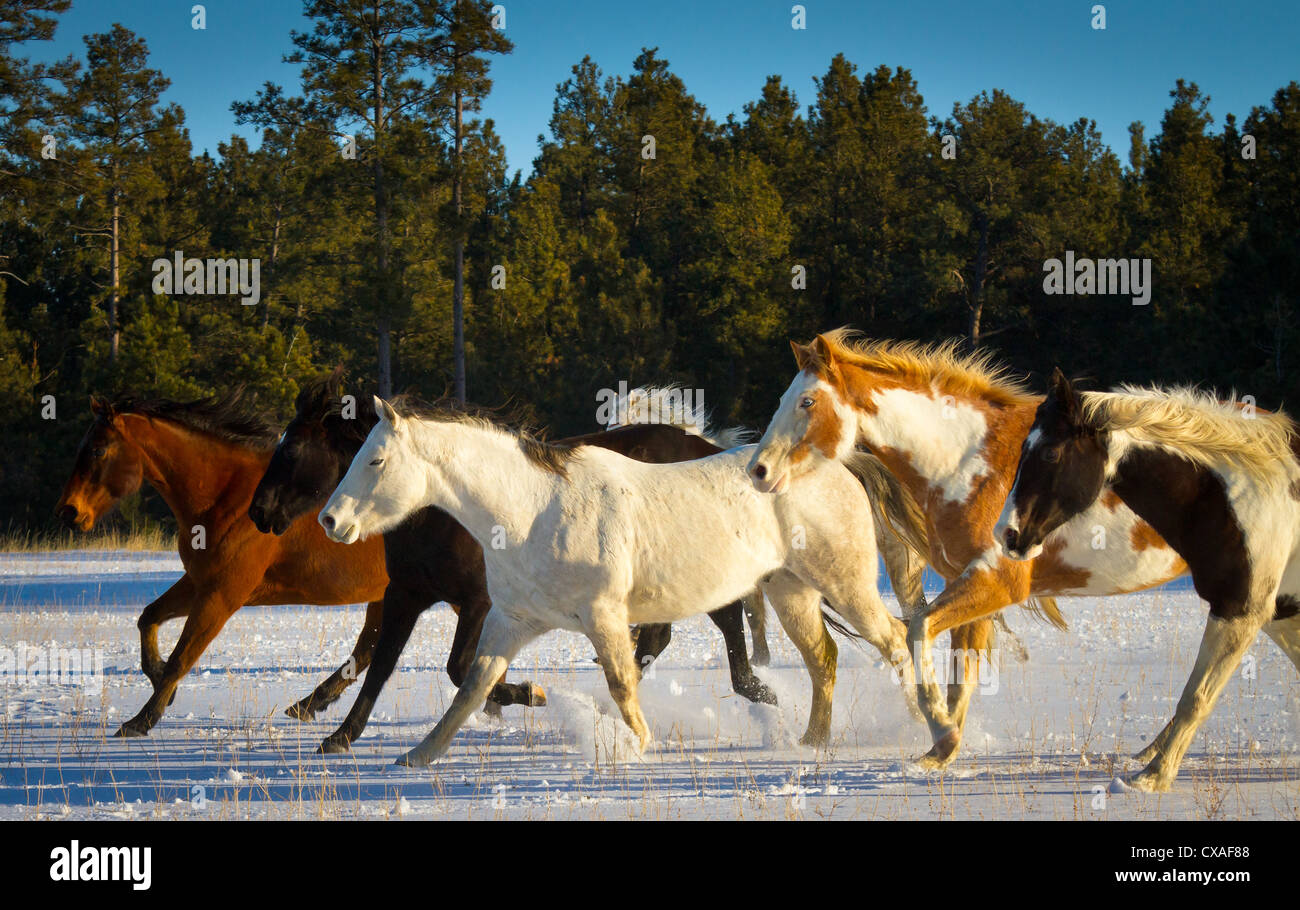 Horses running on a snow covered field on a ranch in northeastern Wyoming - Stock Image