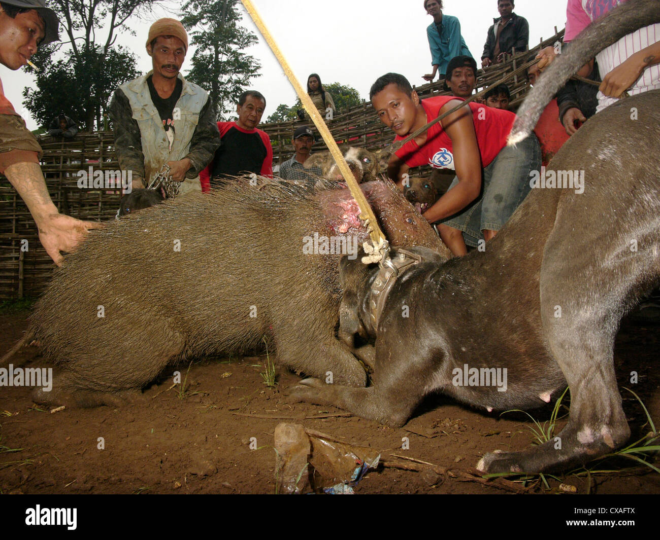 Members of a dog club set their attack-dog on a wild boar during a legal pig-baiting contest in West Java, Indonesia. - Stock Image
