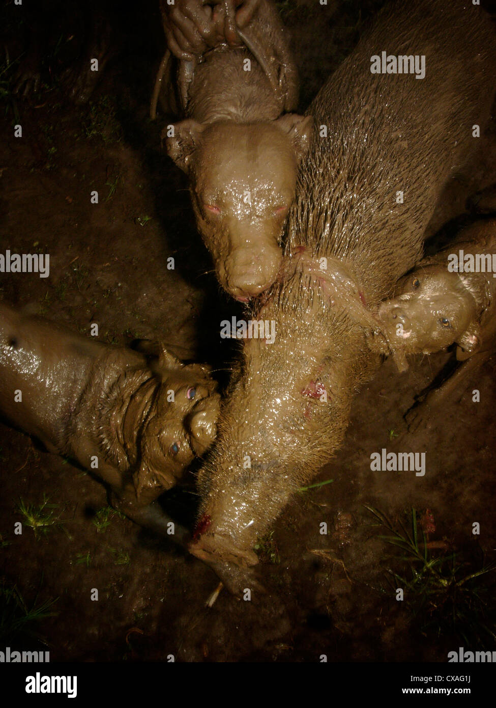Three fighting dogs maul a wild boar during a legal pig-baiting contest in West Java, Indonesia. - Stock Image