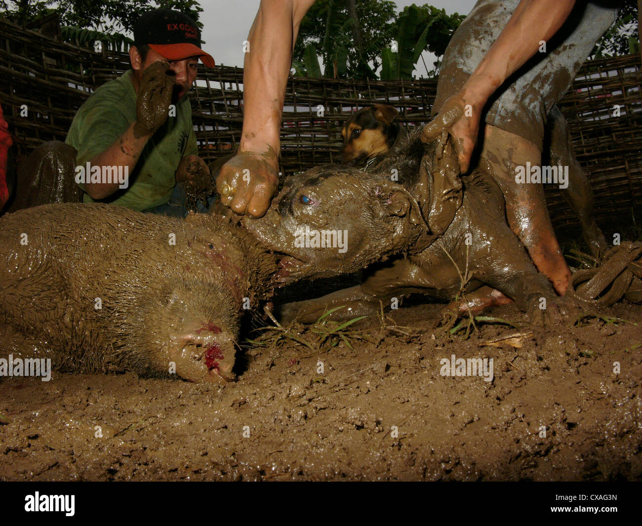 Owners encourage their fighting dog to maul a wild pig during a legal boar-baiting contest in Java, Indonesia. - Stock Image