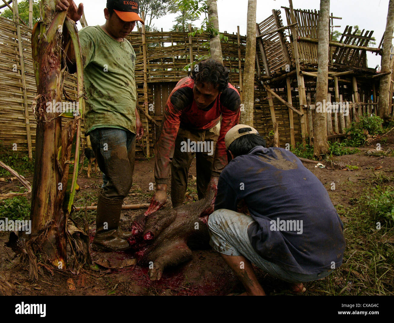 Christian Bataks from Sumatra butcher a boar killed by fighting dogs during a legal pig-baiting contest in West - Stock Image