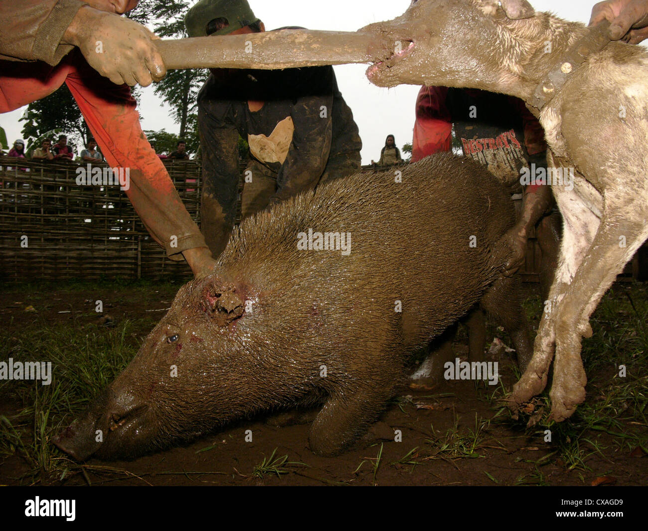 Owners encourage their attack dog to maul a wild pig during a legal boar-baiting contest in Java, Indonesia. - Stock Image
