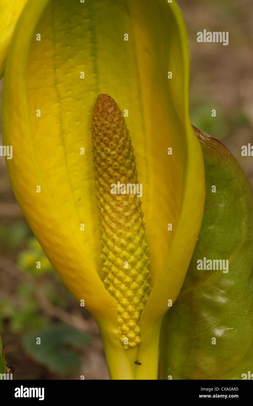 Yellow Skunk Cabbage (Lysichiton americanum) flowering, close-up of spadix. Garden origin. Powys, Wales. March. - Stock Image