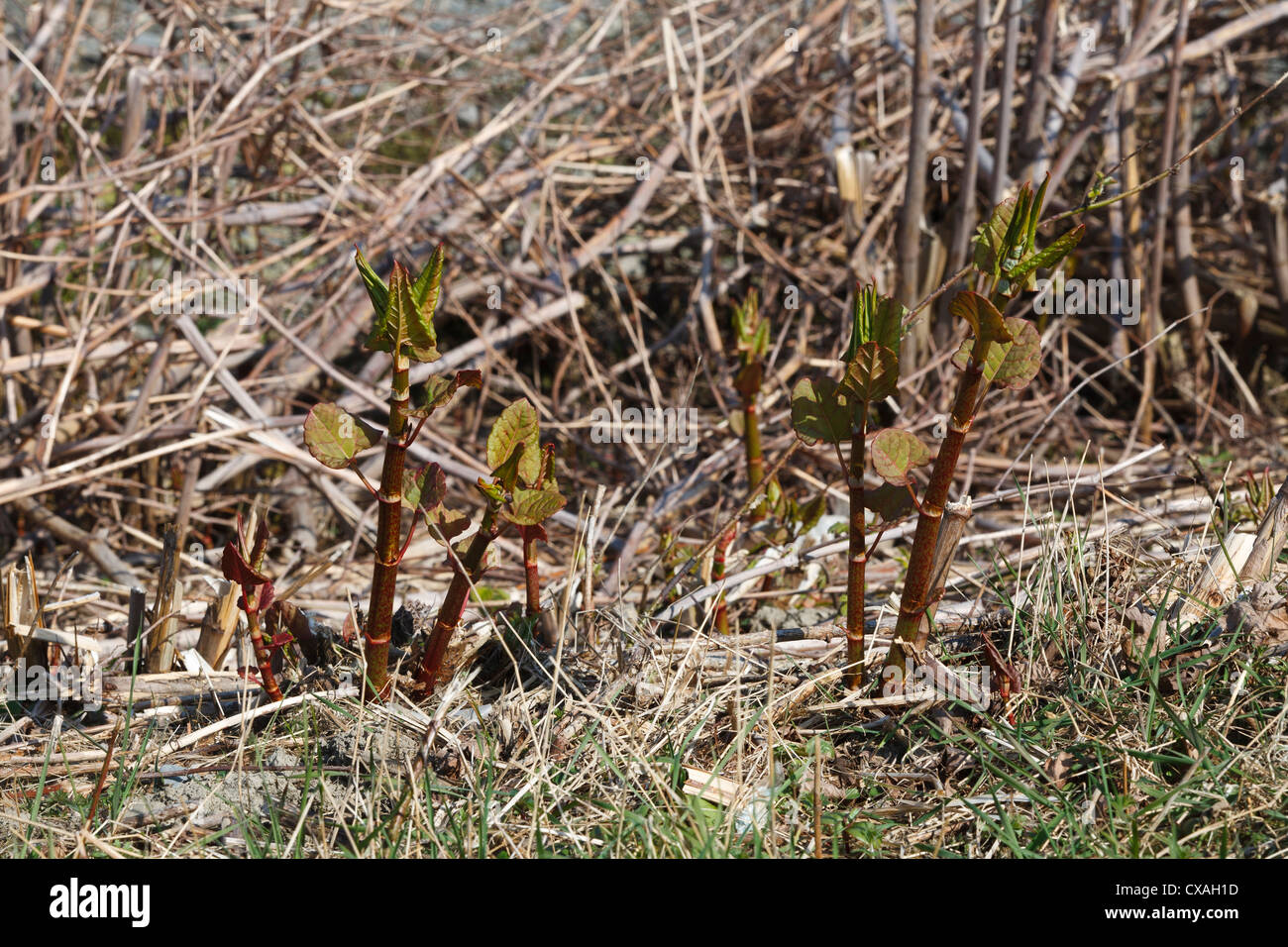 New Spring shoots of Japanese Knotweed (Fallopia japonica). Introduced invasive species. Ceredigion, Wales. March - Stock Image
