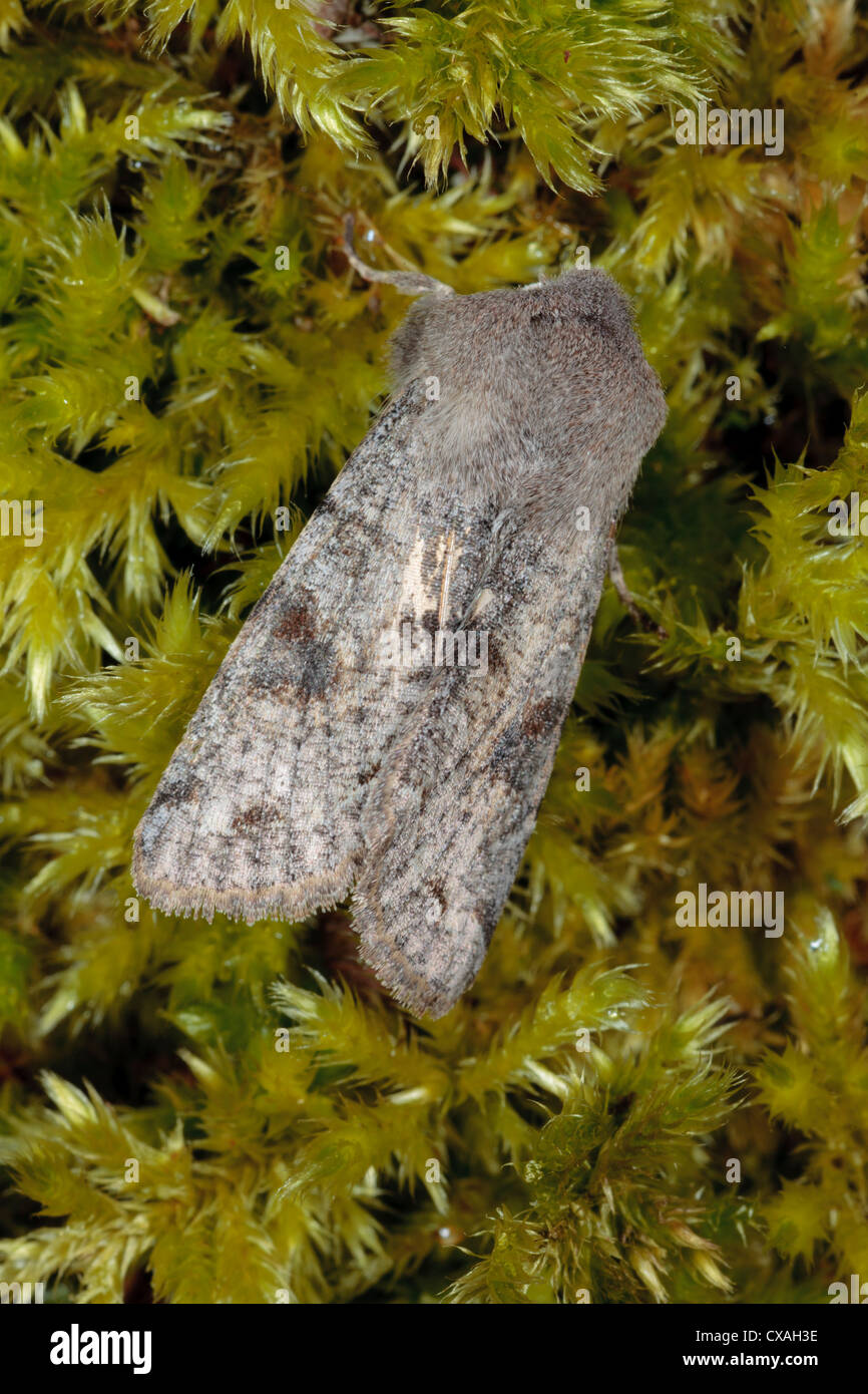 Clouded Drab moth (Orthosia incerta) resting on moss. Powys, Wales. April - Stock Image