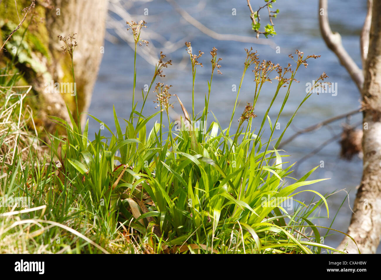Greater Wood-rush (Luzula sylvatica) flowering beside a river. Powys, Wales. April. - Stock Image
