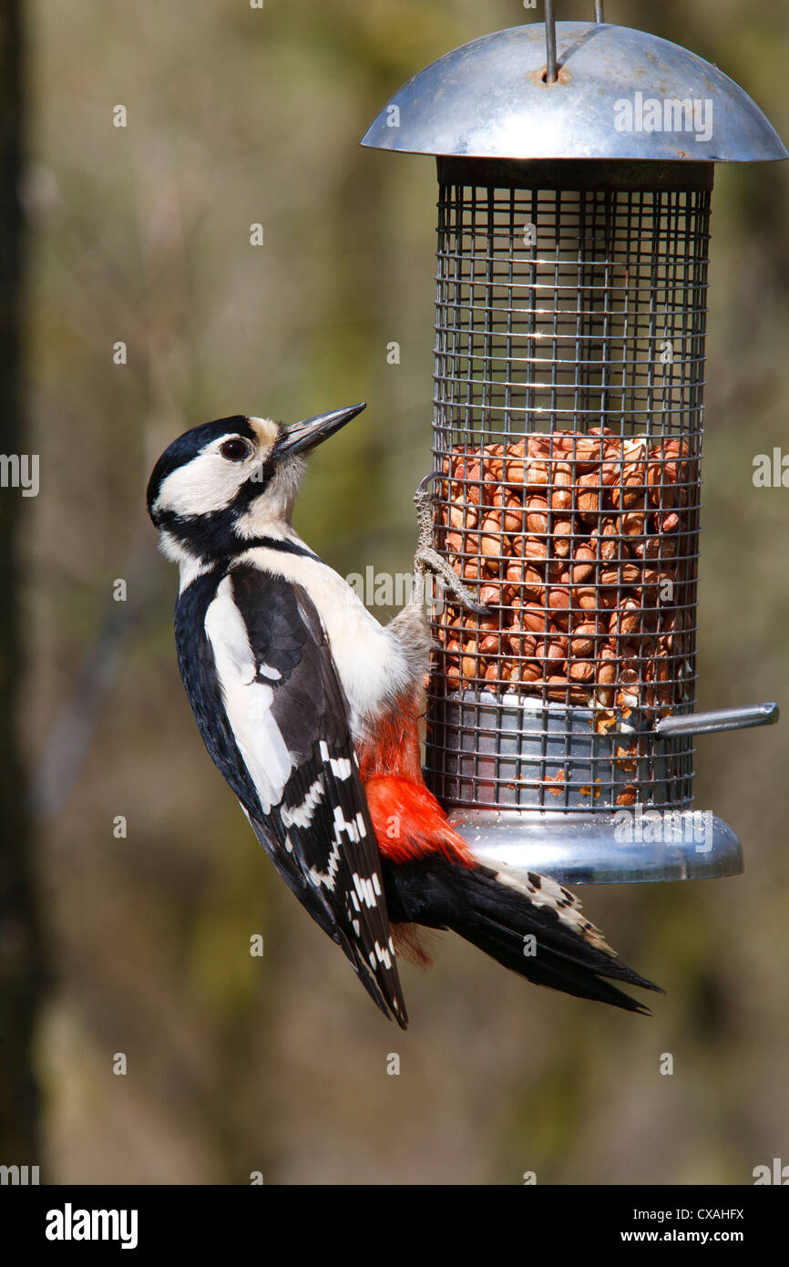 Great Spotted Woodpecker (Dendrocopus major) adult female feeding on a wire peanut feeder. Powys, Wales, October. - Stock Image
