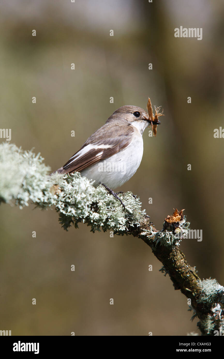 Female Pied Flycatcher (Ficedula hypoleuca) carrying bark for nesting material. Powys, Wales. May - Stock Image