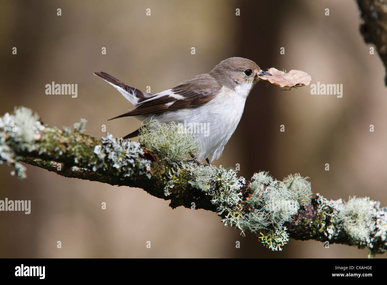 Female Pied Flycatcher (Ficedula hypoleuca) carrying a leaf for nesting material. Powys, Wales. May - Stock Image