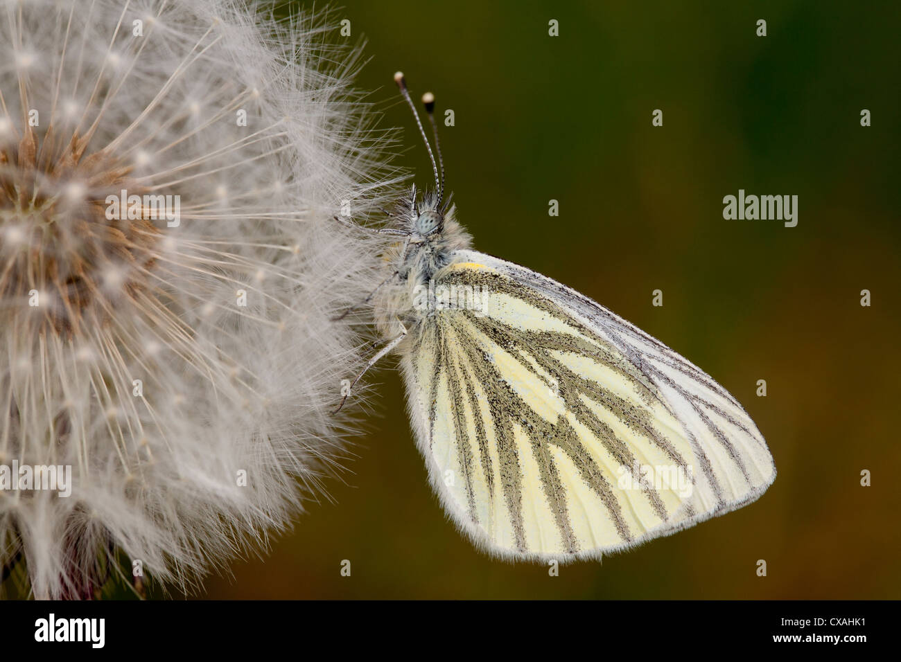 Green-veined White butterfly (Pieris napi) resting on a dandelion clock. Powys, Wales. May - Stock Image