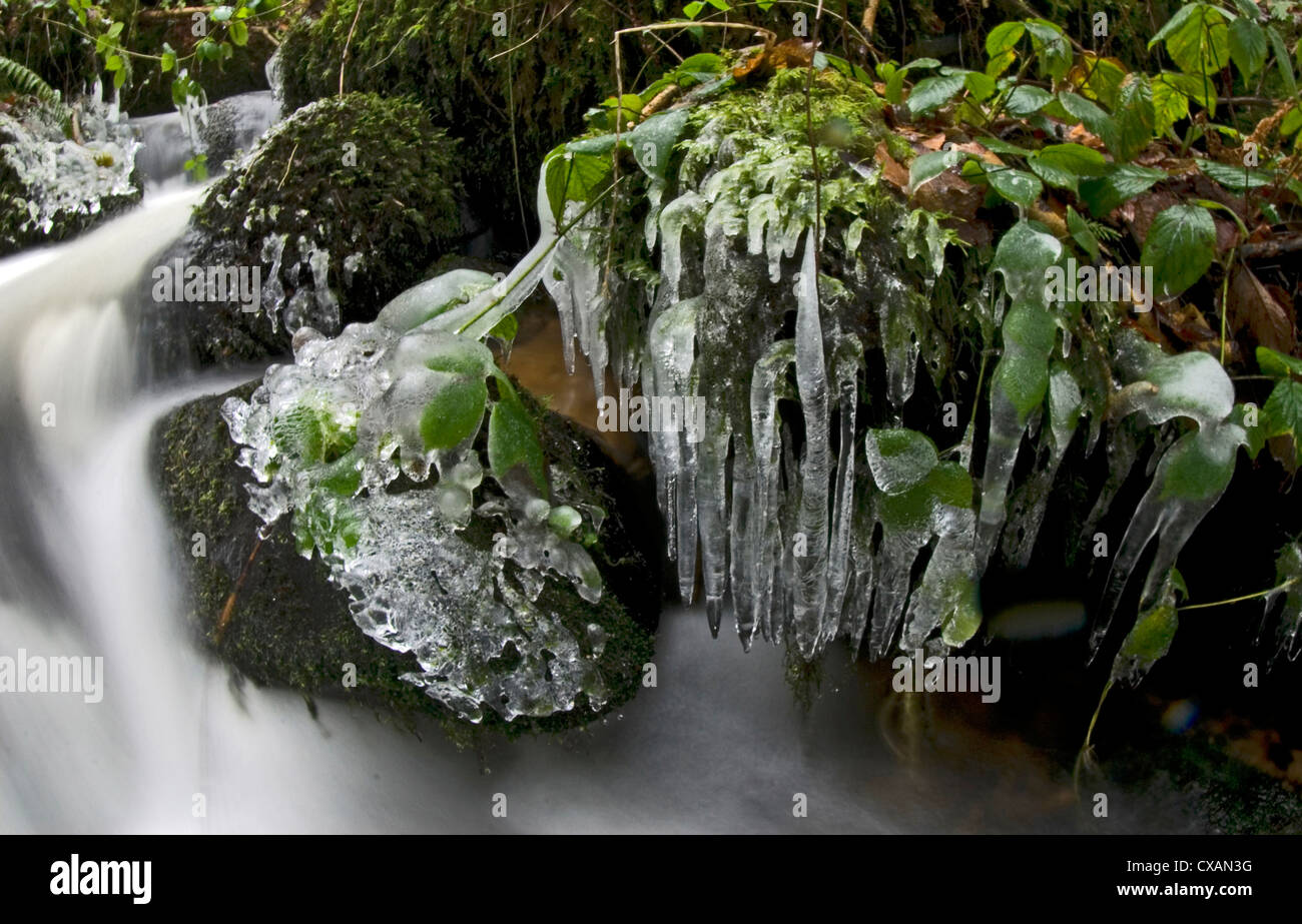 Icicles form around a fast flowing stream in the steep-sided Teign Valley, Dunsford Wood, near Exeter, South Devon, - Stock Image