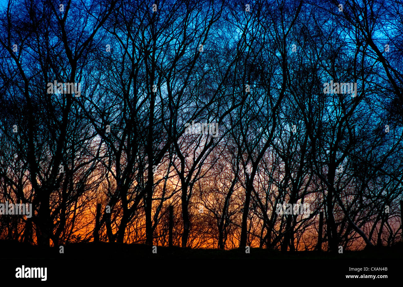 Sunset behind a stand of birch trees silhouetted against a deep blue sky, Perthshire, Scottish Highlands. - Stock Image
