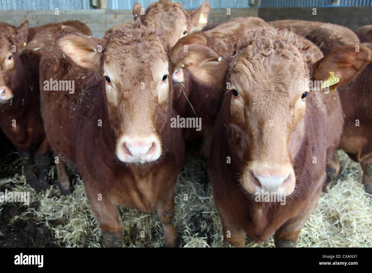 Pedigree South Devon cattle, Devon, England, United Kingdom, Europe - Stock Image