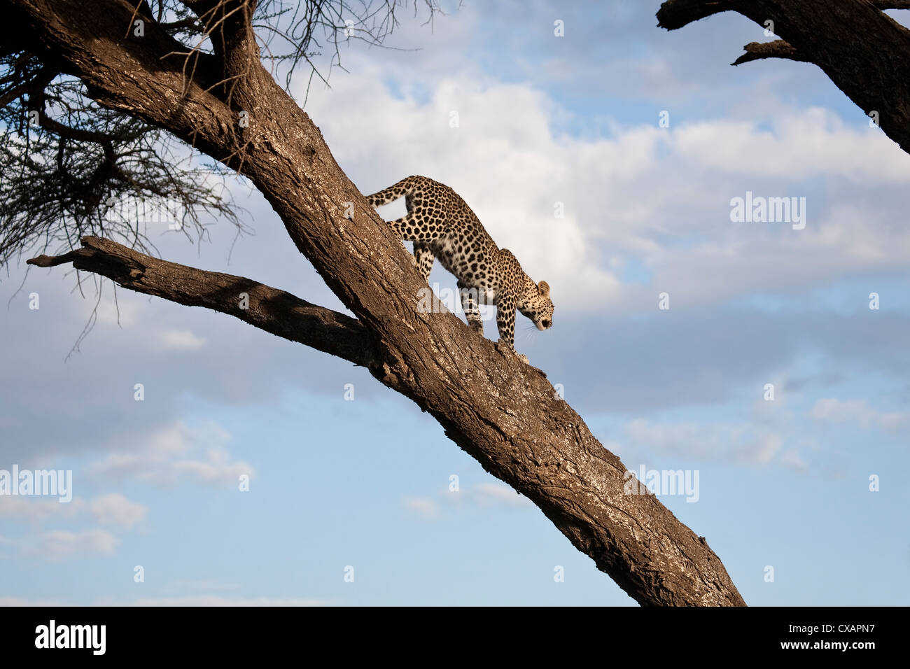 Leopard Panthera pardus descending the trunk of a large tree in Tanzania - Stock Image