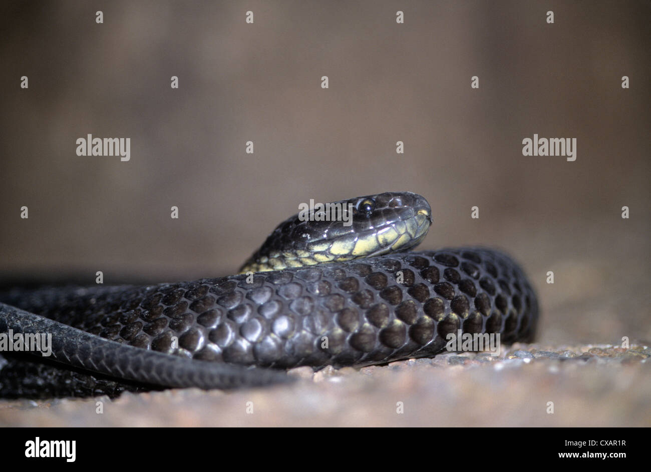 Australia, wildlife, native snakes,Chapell Island Tiger Snake, the worlds most venemous snake in terms of venon - Stock Image