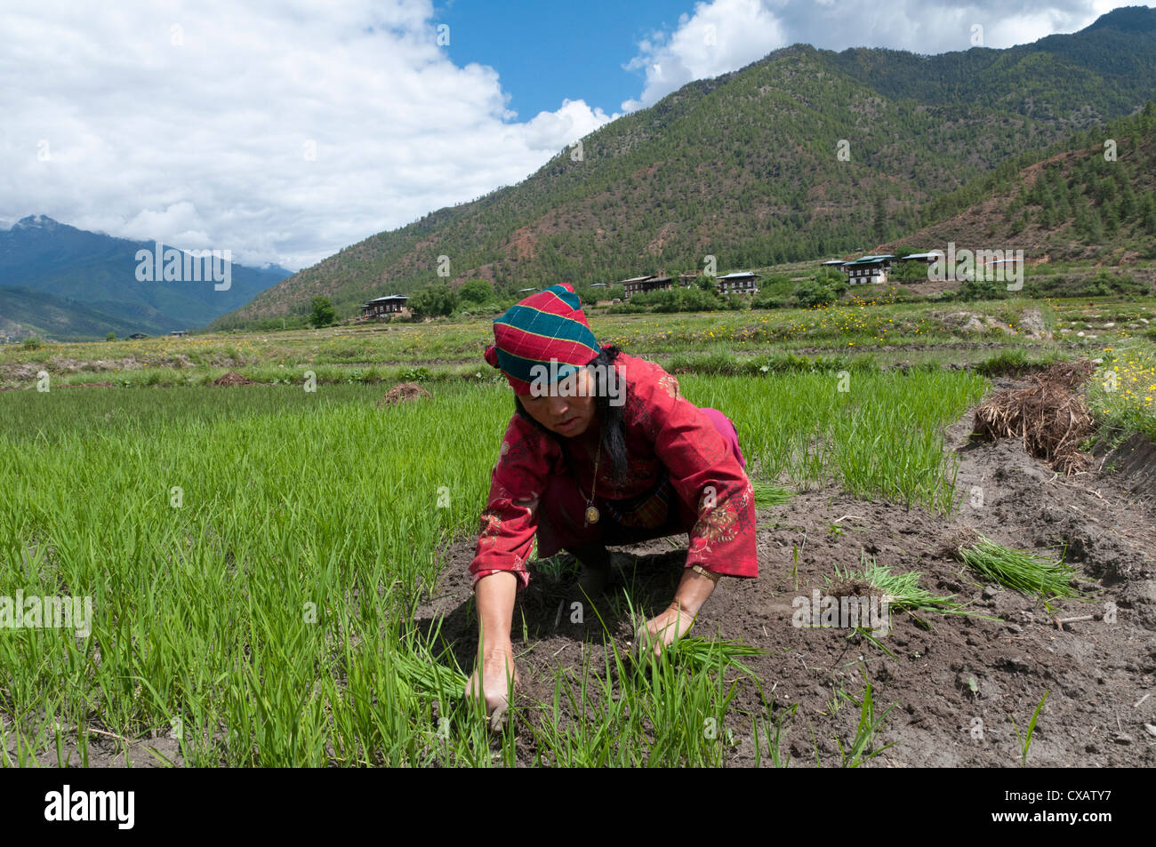 Female farmers transplanting rice shoots into rice paddies, Paro Valley, Bhutan, Asia - Stock Image