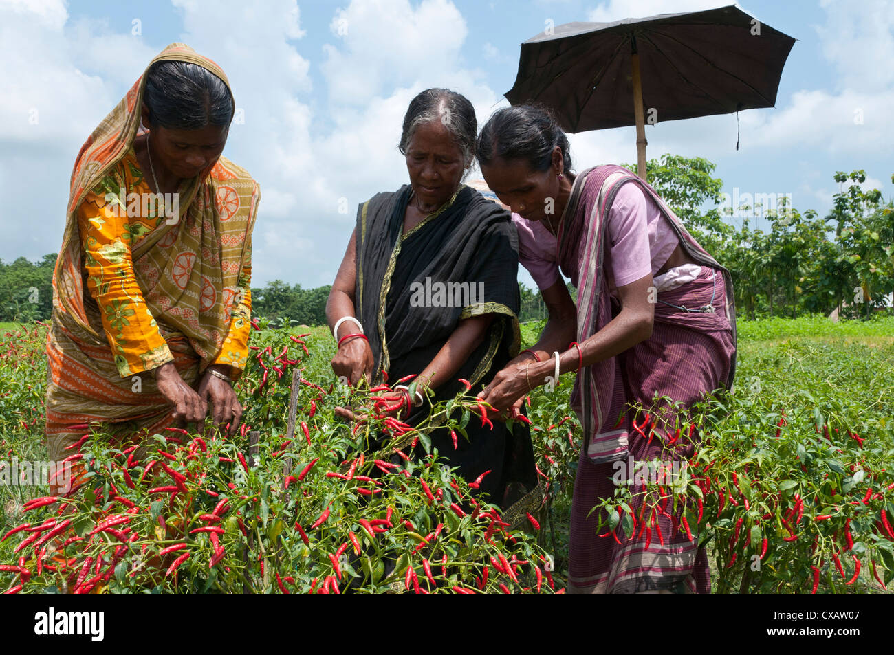 Female farmer harvesting red chili, Koch Bihar, West Bengal, India, Asia - Stock Image