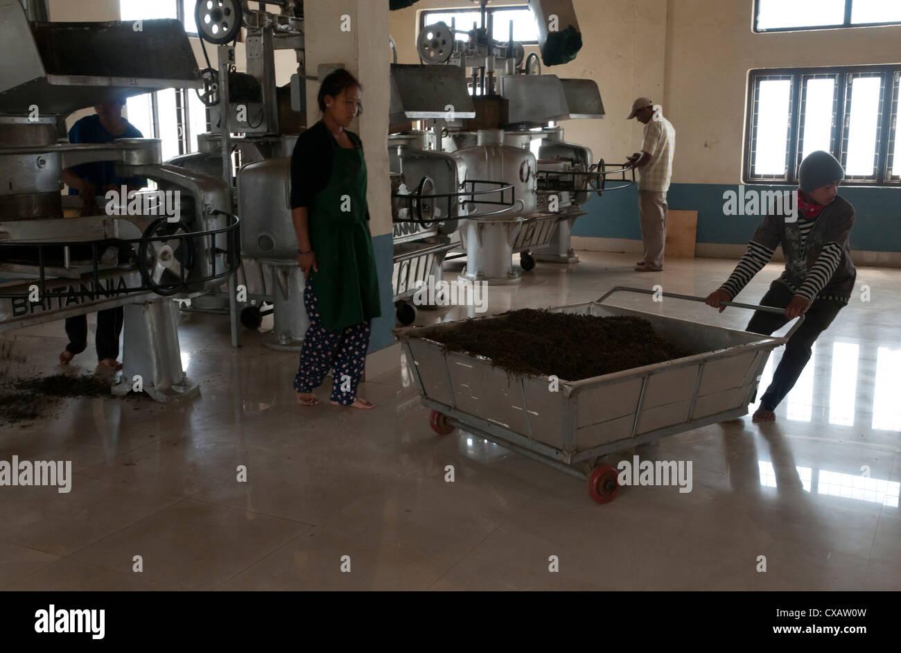 Interior of tea factory, Nepal tea is essentially identical to Darjeeling tea, Fikkal, Nepal, Asia - Stock Image