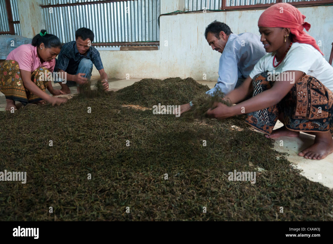 Lwan Tea factory, Pokhara, Annapurna region, Nepal, Asia Stock Photo