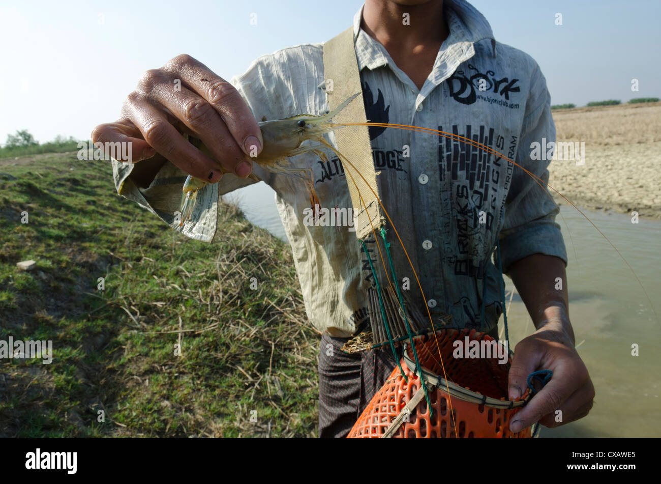 Large shrimp from waterway in Irrawaddy delta, Myanmar (Burma), Asia - Stock Image