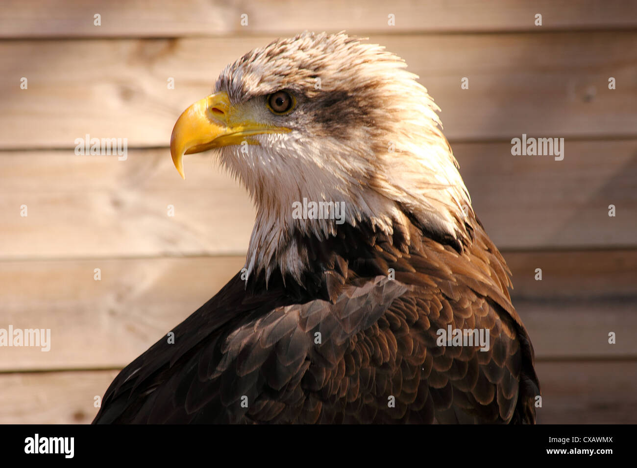 African fish eagle (Haliaeetus vocifer) or to distinguish it from the true fish eagles (Ichthyophaga) - Stock Image