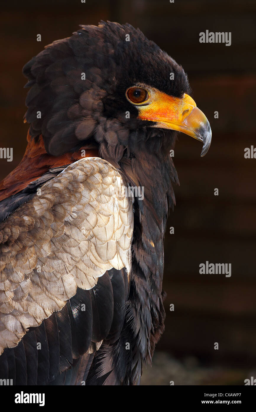 Bateleur, eagle in the bird family Accipitridae, resident in Sub-Saharan Africa, in captivity in the United Kingdom - Stock Image
