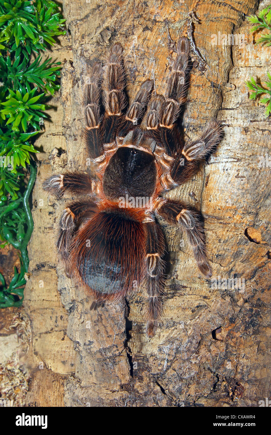 Brazilian Fire Red, one of the biggest tarantula giants, Brazil, South America - Stock Image
